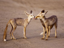 Fox Family Pair. This urban desert fox and his partner share a tender moment Royalty Free Stock Photography