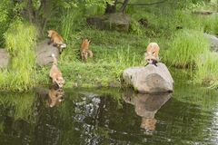 Playful Red Fox Family Near a Lake with Reflections in the Clear Water Stock Photo