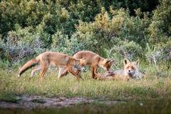 Fox family playing Royalty Free Stock Photos
