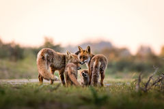 Fox family. At sunset in the dunes Royalty Free Stock Image