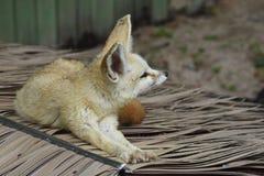 Fox, Fauna, Red Fox, Wildlife royalty free stock photography