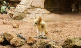 Fox Fennec пустыни Стоковое Изображение