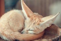 Fox Fennec Селективный фокус Стоковое фото RF