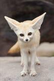 Fox Fennec Стоковое Изображение