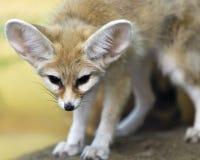 Fox Fennec Стоковое Изображение RF