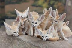 Fox Fennec Стоковые Изображения RF
