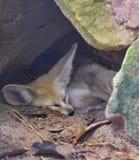 Fox Fennec Стоковая Фотография RF