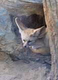 Fox Fennec Стоковое фото RF
