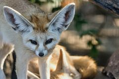 Fox fennec opened eyes and looks Stock Photos