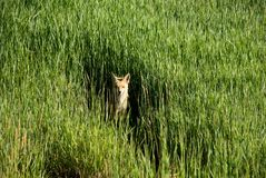 Fox in a field. A red tailed fox in a field in Steamboat Springs Colorado Royalty Free Stock Photography