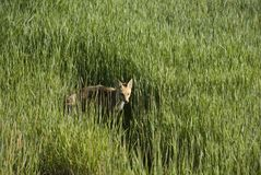 Fox in field Royalty Free Stock Photo
