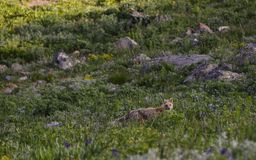 Fox in a Field in Montana royalty free stock photos