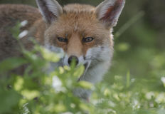 Fox Royalty Free Stock Images