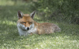 Fox Royalty Free Stock Photo