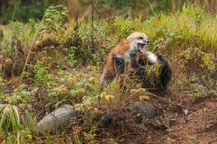 Fox Fight (Vulpes vulpes). Captive animals royalty free stock photos