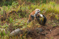 Fox Fight (Vulpes vulpes) Royalty Free Stock Photos