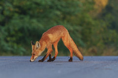 Fox in finding the way, paved trails Royalty Free Stock Images