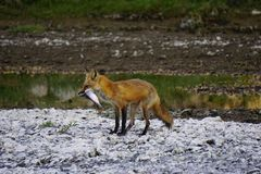 Fox with a fish Royalty Free Stock Images