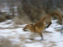 Fox fonctionnant dans la tache floue de mouvement en bois Image libre de droits