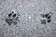 Fox footprint Royalty Free Stock Image