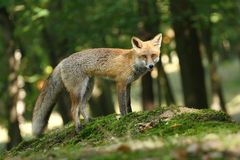 Fox in forest Stock Image