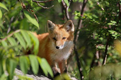 Fox in forest Stock Photos