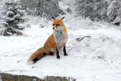 Fox in foresta ad alto Tatras, Slovacchia Fotografia Stock
