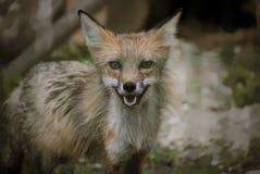 Fox в forrest Стоковые Фотографии RF