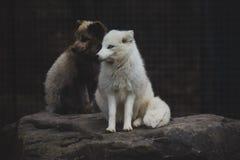 White Fox on stock photo