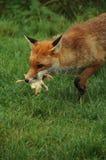 Fox, franco rosso (vulpes v.) Fotografie Stock Libere da Diritti