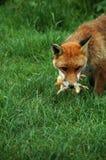 Fox, franco vermelho (Vulpes v.) Imagens de Stock