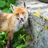 Fox in free wild royalty free stock image