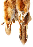 The fox fur. Red fox fur with pied beautiful hairs Royalty Free Stock Photography