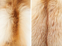 Fox fur close-up #3 | Textures. Long winter fur of the two yeared fox. 1st from the neck and 2nd from the back. Two types of fur texture Royalty Free Stock Photo