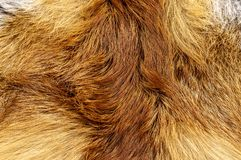 Fox Fur close-up color orange animal background royalty free stock photo