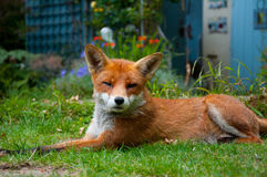 Fox in garden Stock Images