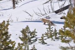 Fox gelado Imagens de Stock