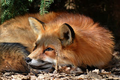 Fox getting some sleep. Bee enroute tp get some honey Royalty Free Stock Image