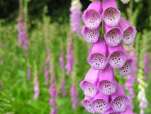 Fox Glove stock images