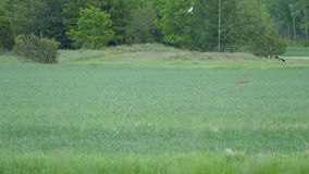 Fox goes after hare and birds go after fox. Clip of a fox trying to get a hare on a field, while birds are flying after the fox stock footage