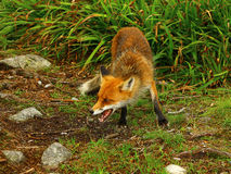 Fox in grass Stock Images
