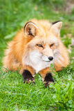 Fox in the grass Royalty Free Stock Photos