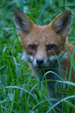 Fox in grass Stock Photo