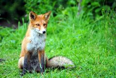 Fox on a grass Royalty Free Stock Photography