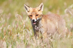 Fox in green field. Fox stood in green countryside field, summer scene Stock Photography