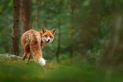 Fox in green forest. Cute Red Fox, Vulpes vulpes, at forest with flowers, moss stone. Wildlife scene from nature. Animal in nature stock photography