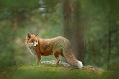 Fox in green forest. Cute Red Fox, Vulpes vulpes, at forest with flowers, moss stone. Wildlife scene from nature. Animal in the na stock photography