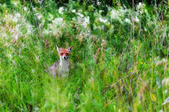 Fox in green grass Royalty Free Stock Photography
