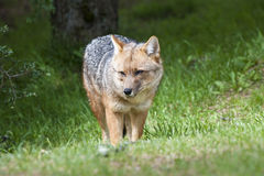 Fox - Grey Fox Royalty Free Stock Photo