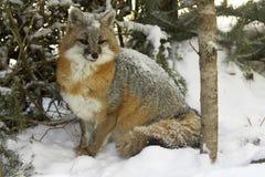 Fox grigio Fotografia Stock Libera da Diritti